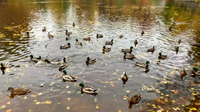 Flock of beautiful ducks and drakes swims in an autumn pond