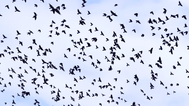 4K. Flock of birds, crows swarming against a blue sky with clouds. video