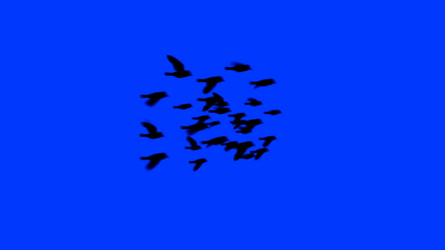 Flock of birds flying free with alpha matte video