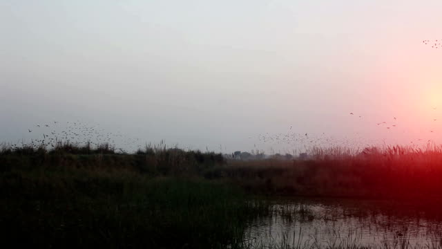 Flock of  birds flying in v formation video