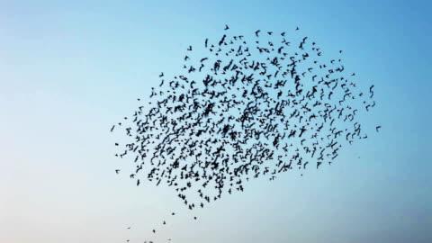 vídeos y material grabado en eventos de stock de bandada de pájaros volando en formación de v - un animal