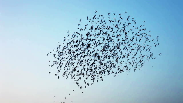 flock of  birds flying in v formation - colombaccio video stock e b–roll