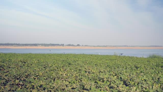 Flock of birds flying over a peanut plants field along the riverside video