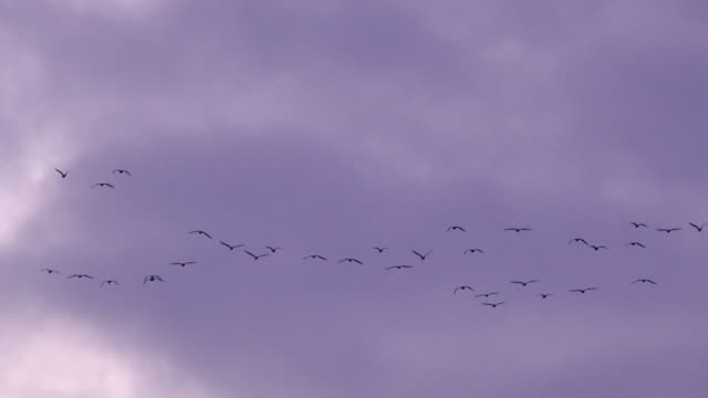 Flock of birds flying over pink sunset sky background video
