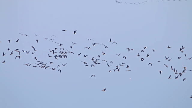 Flock of Birds Geese flying in formation, Blue sky background. video