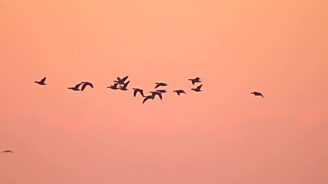Flock of Birds Geese Flying out from the lake. video