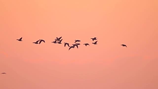 vídeos de stock e filmes b-roll de bando de pássaros gansos a voar fora do lago. - arranjo