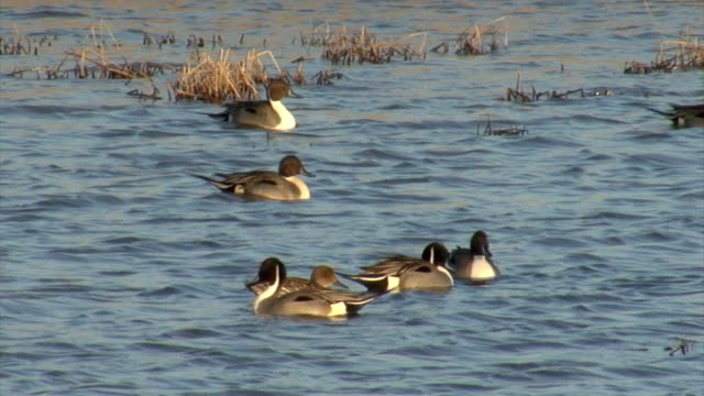 Flock of Birds Northern Pintail in the winter lake video