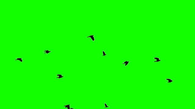 Flock of Birds on Chroma Key