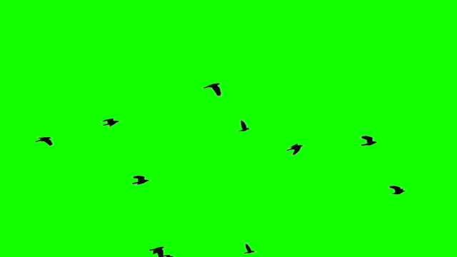 Flock of Birds on Chroma Key Flock of birds against green screen environmental conservation stock videos & royalty-free footage
