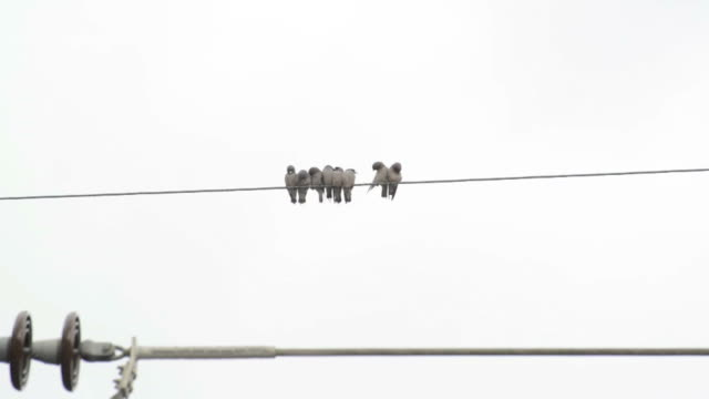 flock of birds on wires in the sunny day video