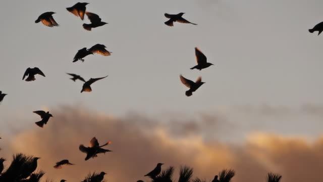 vídeos de stock, filmes e b-roll de bando de pássaros, starlings (sturnus vulgaris) em torno de sua árvore adormecida. - pássaro
