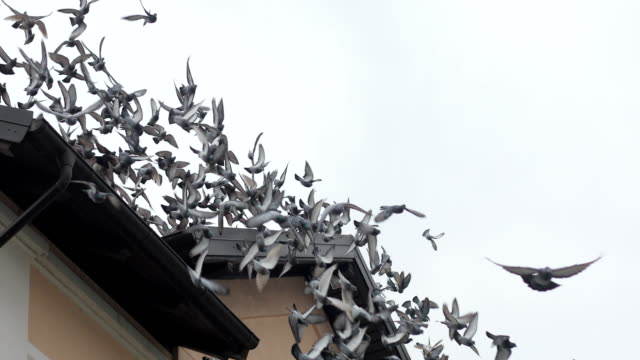 flock of birds taking off a roof - colombaccio video stock e b–roll