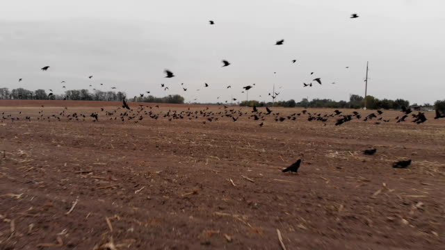 Flock of Birds Taking Off video