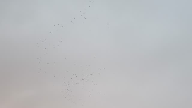 A flock of black birds circling in the center and flying upward video