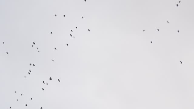 A flock of black birds flies from left to right against the sky video