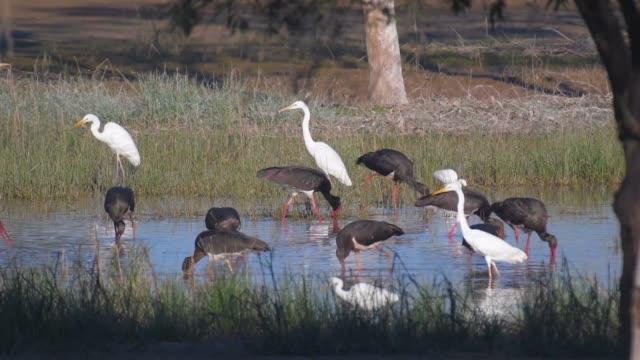 Flock of black storks fishing in freshwater