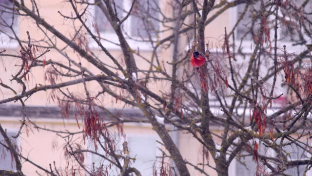 A flock of bullfinches sits on a branch and eats seeds video