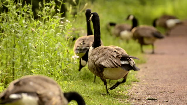 Flock of canada geeses eating along a path video
