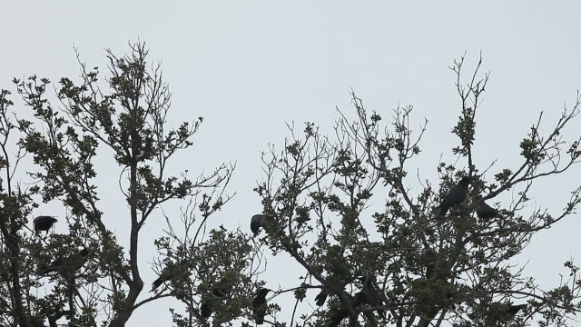 flock of crows in the trees - fronda video stock e b–roll