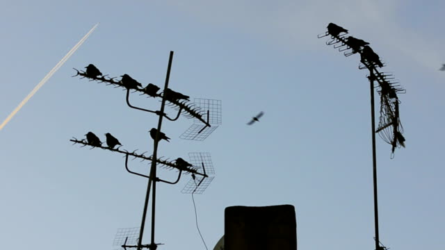 Flock of Crows On TV Antenna video