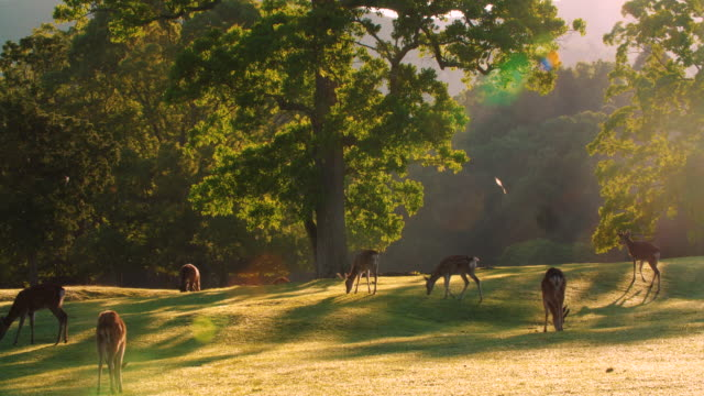 flock of deer grazing in the forest, 4k - wildlife travel stock videos & royalty-free footage