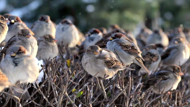 Flock of disheveled sparrows, perching on shaven snowy bush. video