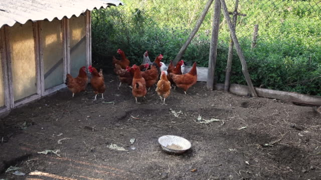 flock of domestic chickens walks on a small paddock. close up