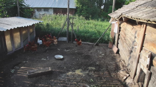 flock of domestic chickens walks on a small paddock