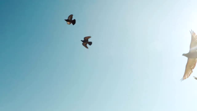 flock of doves. a flock of birds against the sky. slow motion 120fps - colombaccio video stock e b–roll
