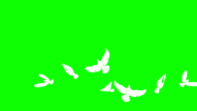 Flock Of Doves On Chroma Key (Super Slow Motion) video