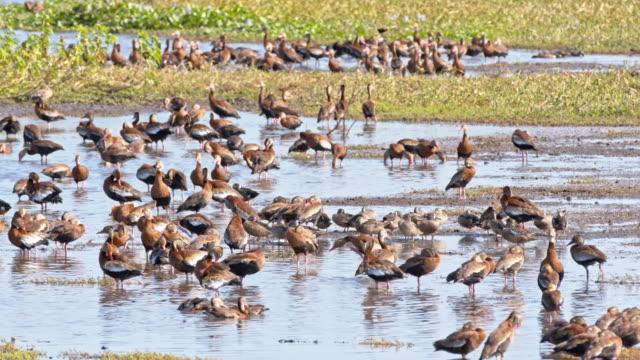 SLO MO Flock of duck at waterhole video