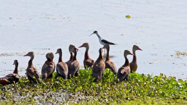 slo mo flock of ducks in the marsh - илистая пойма стоковые видео и кадры b-roll