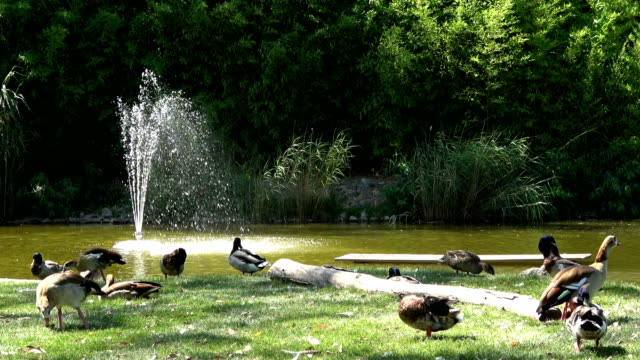 Flock of ducks resting on the shore of the lake in hot weather