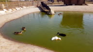 istock A flock of ducks swim and cool off in a small pond under the blazing sun in Bulgaria. 1218757944