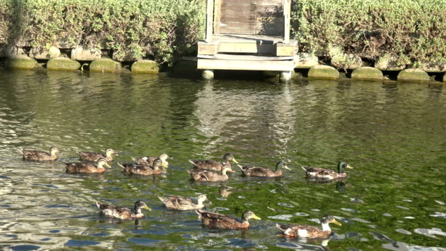 vídeos y material grabado en eventos de stock de una bandada de patos nadando en un canal - anclado