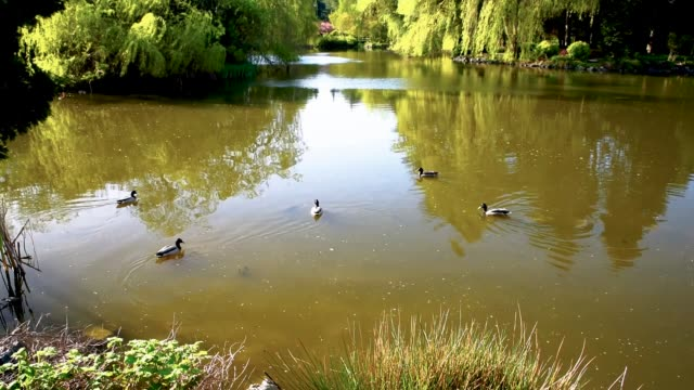 flock of ducks swims along the lake in a spring park - richmond columbia britannica video stock e b–roll