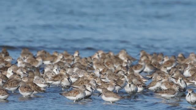 ハマシギ (calidris アルピナ) の群れ - 水鳥点の映像素材/bロール