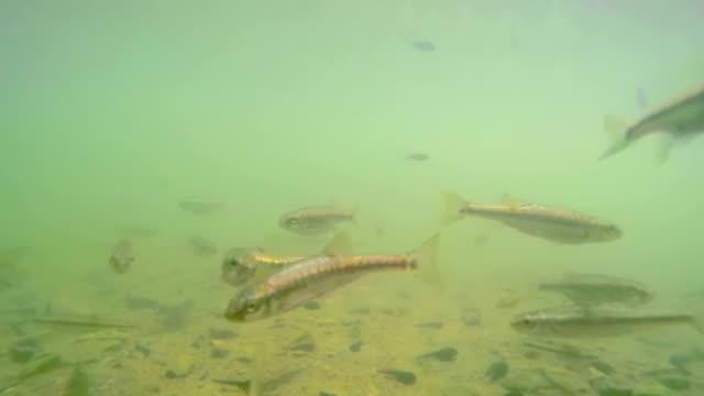 flock of fish - süßwasserfisch stock-videos und b-roll-filmmaterial