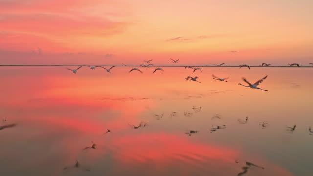 AERIAL SLO MO Flock of flamingos flying at dusk
