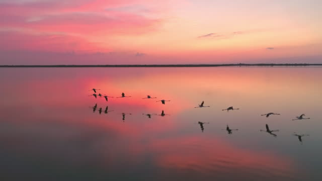 AERIAL Flock of flamingos flying at sunset