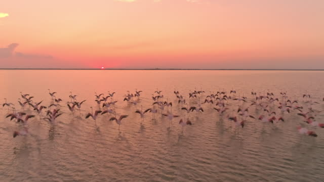 AERIAL SLO MO Flock of flamingos flying at sunset Drone slow motion shot of flock of flamingos flying above the surface of the water at dusk. pelican stock videos & royalty-free footage