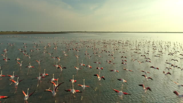 AERIAL SLO MO Flock of flamingos flying at sunset Drone slow motion shot of flock of flamingos flying above the surface of the water at sunset. beauty in nature stock videos & royalty-free footage