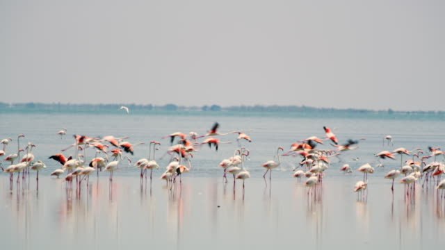 WS Flock of flamingos in the lagoon video