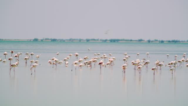 ws flock of flamingos in the lagoon - uccello acquatico video stock e b–roll