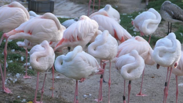 Flock of flamingos resting- pan side to side video