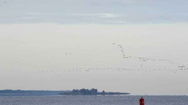 Flock of flying birds arrange in V-formation for migration video