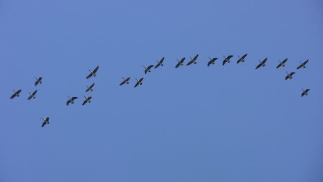 vídeos de stock e filmes b-roll de bando de gansos de aviação. - arranjo