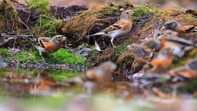 flock of forest birds drinking water and autumn wood