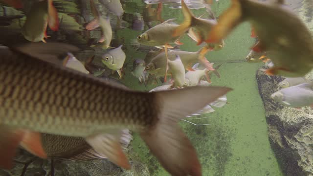 A flock of freshwater commercial fish: roach, perch, silver carp, white-eye bream, bream,close up A flock of freshwater commercial fish: roach, perch, silver carp, white-eye bream, bream,close up freshwater stock videos & royalty-free footage